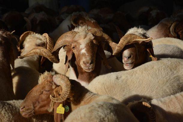Canlı hayvan fiyatları arttı