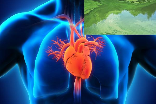 Fotosentezle Kalp Krizi Tedavisi