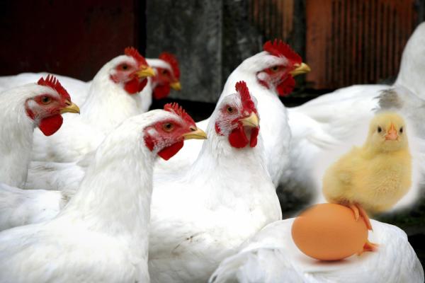 Tavukçuluk da Olmasa Hayvancılığımız Bitecek!