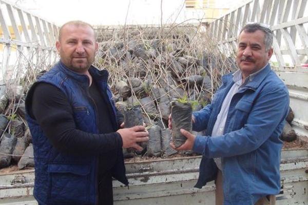 Çiftçilere fıstık fidesi dağıtıldı