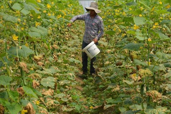 Çiftçiler seralarına bulaşan hastalıktan muzdarip