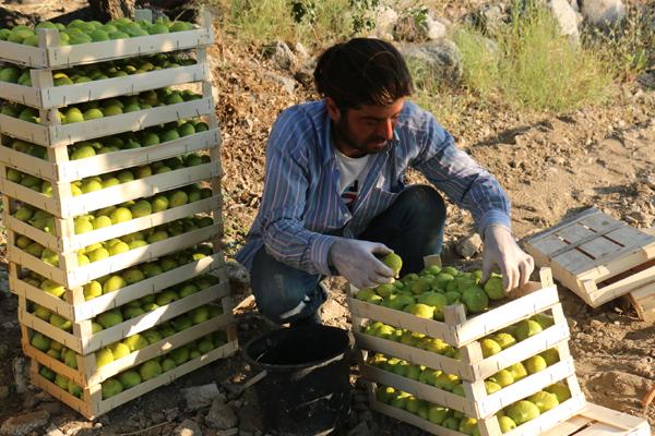 Aydın`da incir hasadı başladı