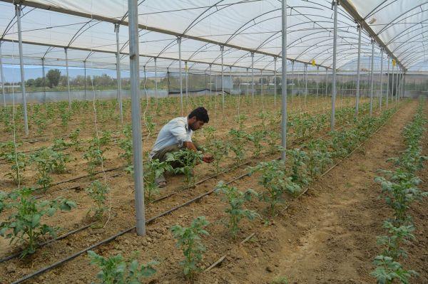 Çiftçiler serada ikinci ürün ekmeye başladı