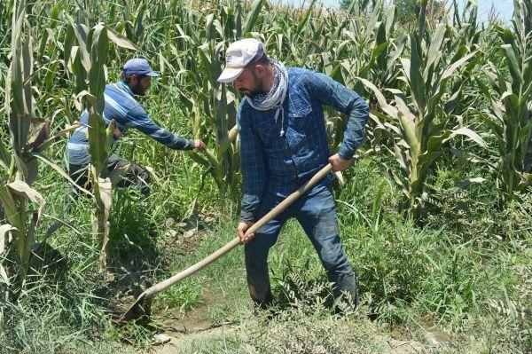 Çiftçiler mısıra iyi fiyat bekliyor