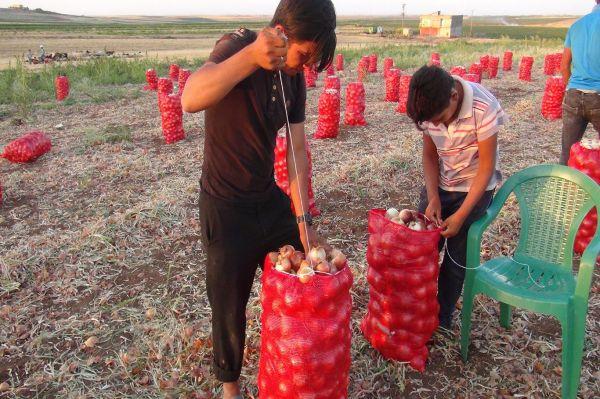 Artan masraflar soğan eken çiftçiyi zorluyor