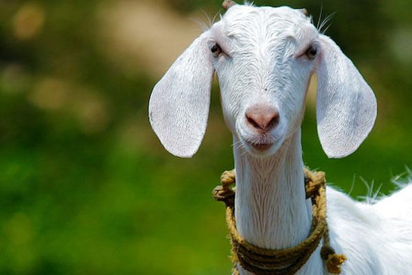 Sahipleri 20 bin avroyu yiyen keçiyi yedi