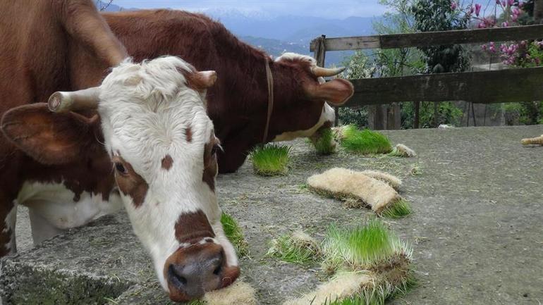 Odada ürettiği yemle hayvanlardan iki kat süt alıyor