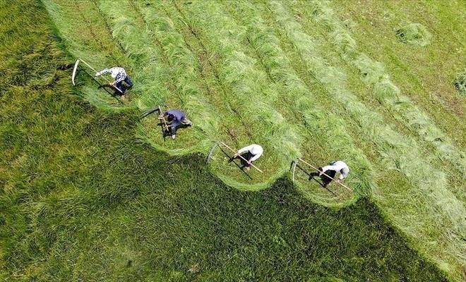 Ağrı'nın dağlık köylerinde çiftçilerin asırlık tırpanlarla zorlu ot biçme mesaisi