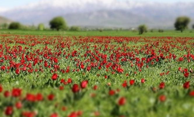 Stunning tulips dancing in Bingöls plain