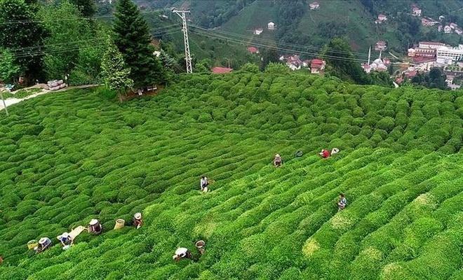 Çay ihraç edilen ülkeler açıklandı
