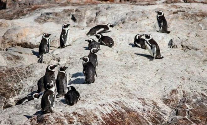Güney Afrika'da 63 penguen arı saldırısına uğradı