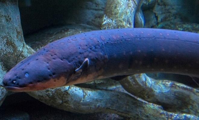 Elektrikli balığın ilginç av metodu