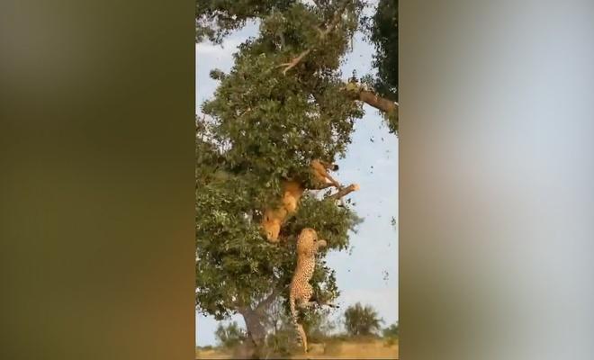 Yemek kavgası yapan aslan ve leopar ağaçtan düştü