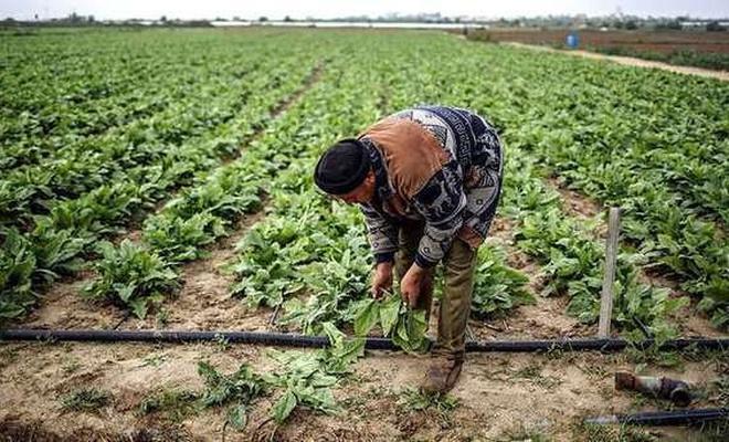 İşgal çetesi saldırıları Gazze'de tarımı vurdu!