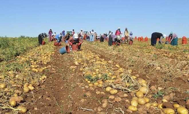 25 ilde patates ekimi yasaklandı