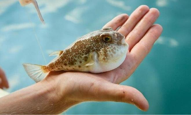 Toplanan balon balıkları nasıl kullanılacak?