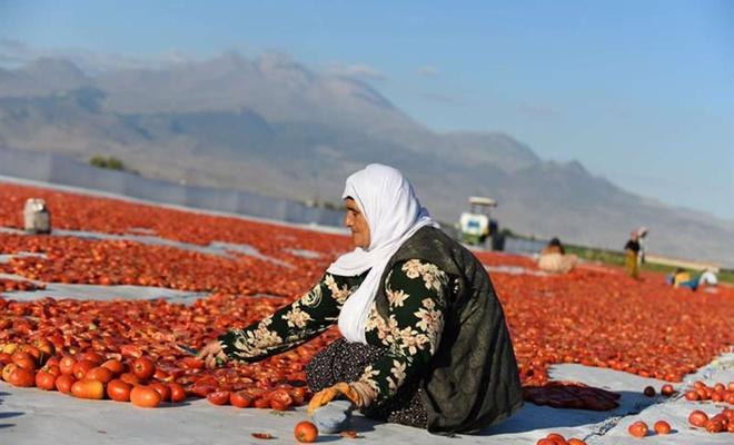 Kayseri'de kurutmalık domates sezonu başladı