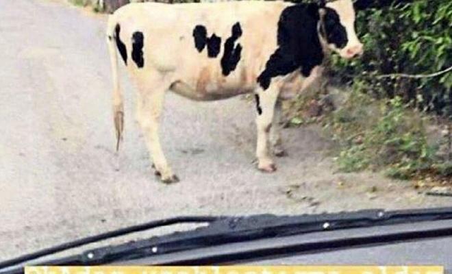 Eski eşiyle inek fotoğrafıyla dalga geçen kadına ceza!