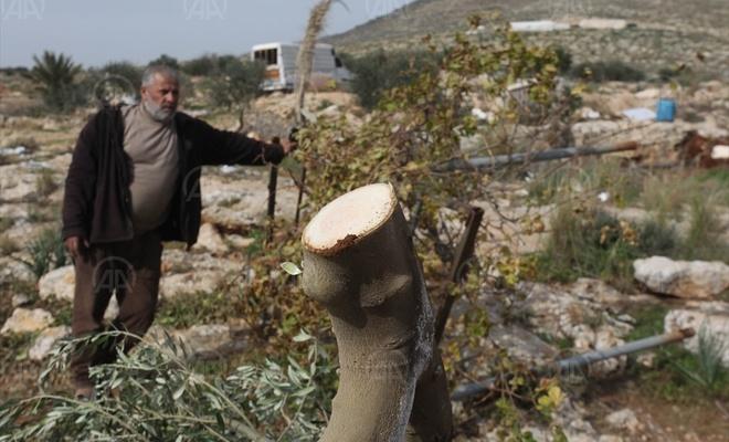 İşgalci teröristler, Batı Şeria'daki ormanlık alanda binlerce ağacı kesti