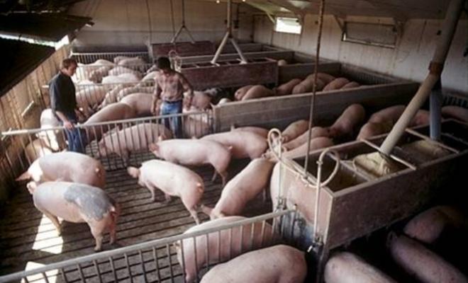 Domuz çiftliklerinde çalışanların kanında bu virüse rastlandı