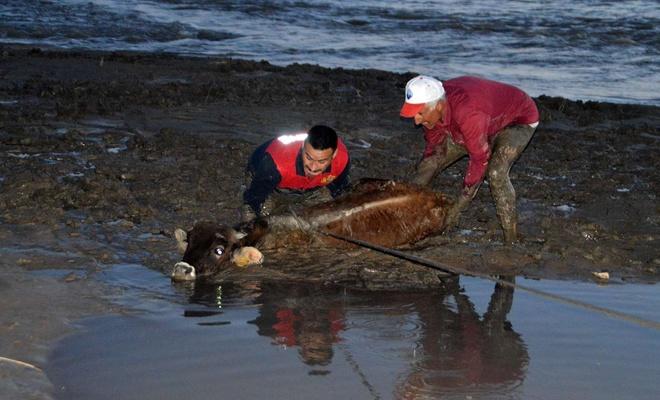 Bataklığa saplanan 17 büyükbaş hayvan için itfaiye ekipleri ve mahalleli seferber oldu