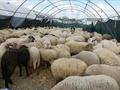 Hayvancılık yatırımlarına ilişkin destek oranları belli oldu