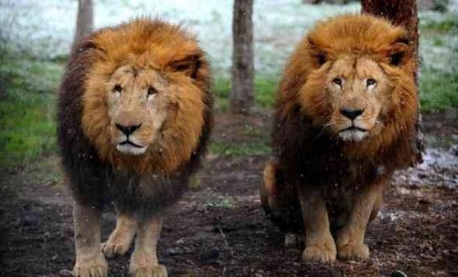 Virüs aslanlara da bulaştı