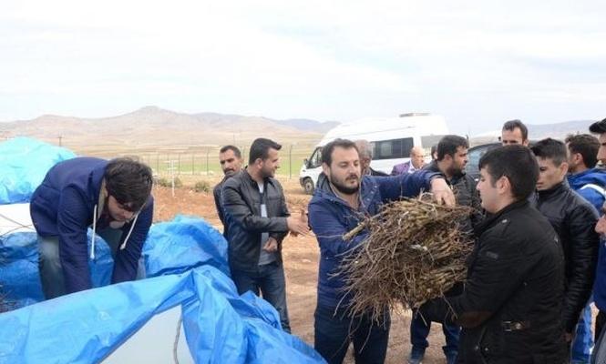 Çiftçilere Mezrone üzümü fidesi dağıtıldı
