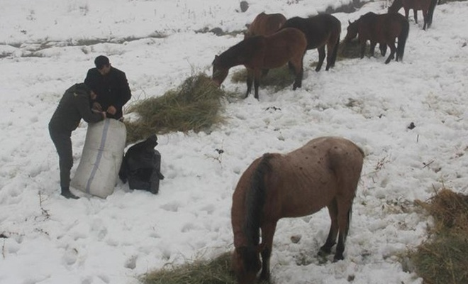 Doğada aç kalan atlara belediye ekipleri yem verdi