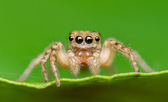 Örümcek Kendi Ağına Nasıl Dolanmaz?