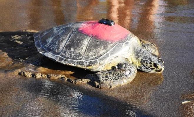 Yeşil deniz kaplumbağası 'Talay' 3 günde 30 kilometre yol katetti