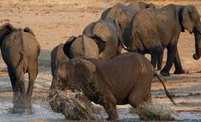 Güney Afrikalı kaçak avcı fillerin altında ezilerek öldü