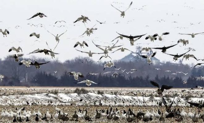 Yeni bir felaketin habercisi mi? 6 bin göçmen kuş telef oldu