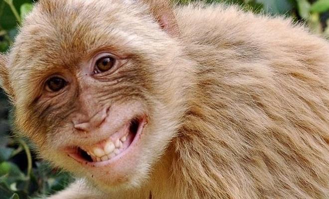 Hindistan'da garip olay. Maymunlar Covid hastalarının örneklerini çaldı