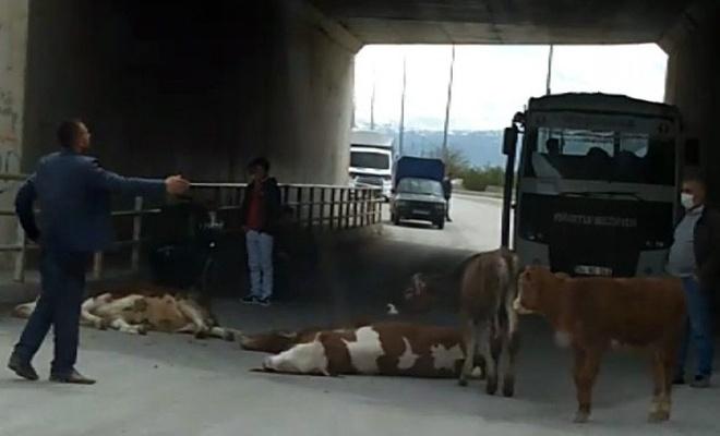 Erzincan'da köprüden düşen inekler telef oldu