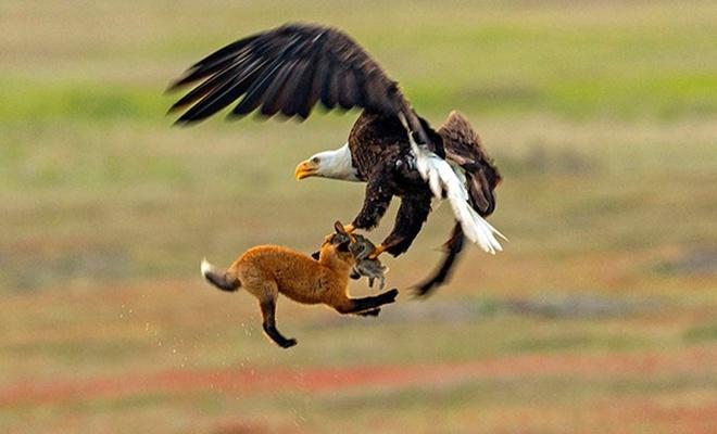Kartal ile tilkinin tavşan için savaşı