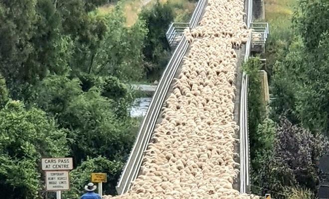 Yeni Zelanda'da köprüden geçen koyunların ilginç görüntüsü