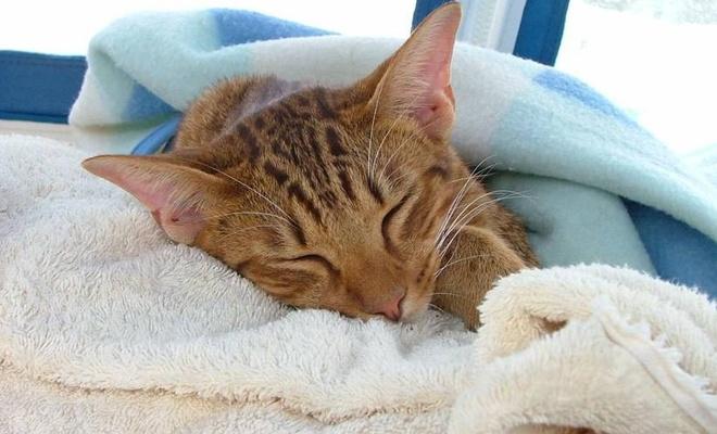 İlk kez yaşandı! Bir kedi koronavirüs nedeniyle hayatını kaybetti