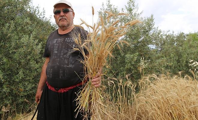 Yılın ilk buğday hasadı başladı