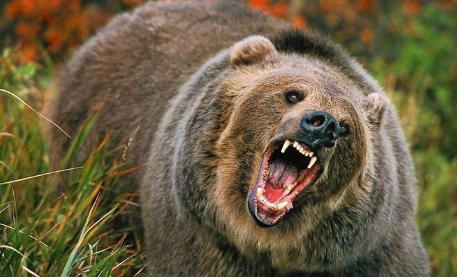 Köpeklerini ormana götüren kadını ayı yedi