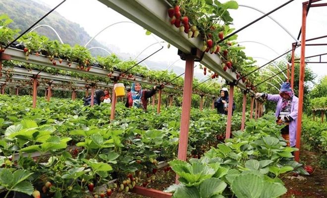 Karadeniz Bölgesi'nin en büyük topraksız çilek bahçesinde hasat başladı