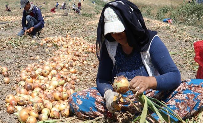 Bölgeden gelip ekmeğini soğandan çıkarıyorlar