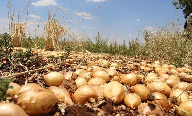 Çiftçiler maliyeti artan fakat pazar fiyatı düşen mahsulü tarlada bıraktı
