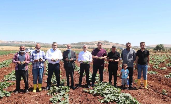 Gaziantep'te yerli sebze hasadına başlandı