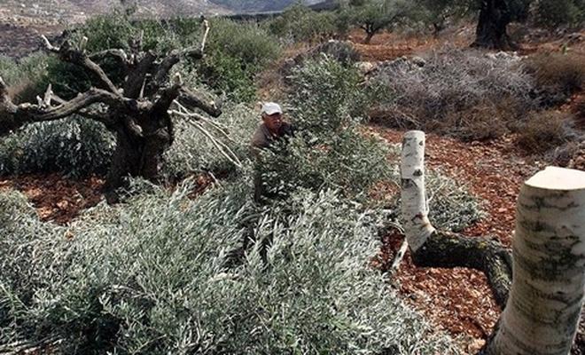İşgal çetesi, Batı Yaka'da ağaç katliamı yaptı