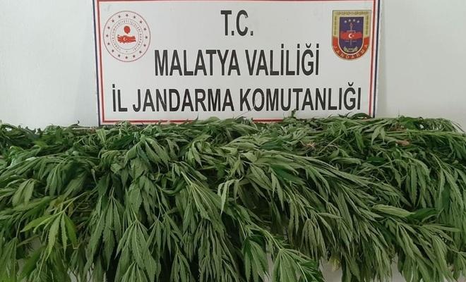 Malatya'da 1500 kök kenevir bitkisi ele geçirildi