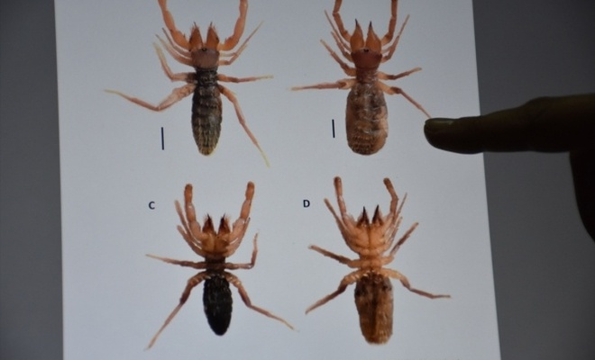 Hakkari'de yeni bir örümcek türü keşfedildi