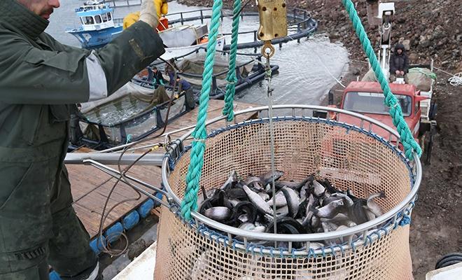 Baraj ve göletlerden balık üretimiyle katkı