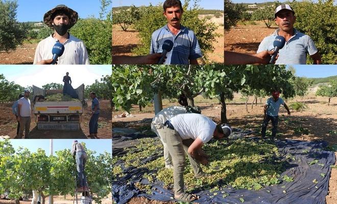 Şanlıurfa'da kavurucu sıcaklıkta fıstık hasadı yapılıyor