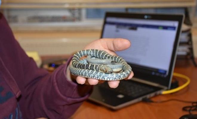 Hakkari'de yeni  bir yılan türü keşfedildi